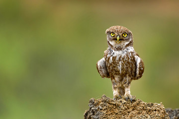 Fototapete - The little owl (Athene noctua) is on the stone.