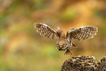 Fototapete - little owl (Athene noctua) is flying with prey