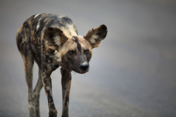 Portrait of free roaming african wild dog Lycaon