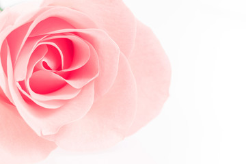 Pink Rose flowers on white background. Rosaceae. Postcard, cover, card