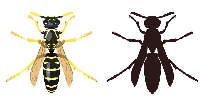 Color image of wasp and its silhouette. Vector illustration