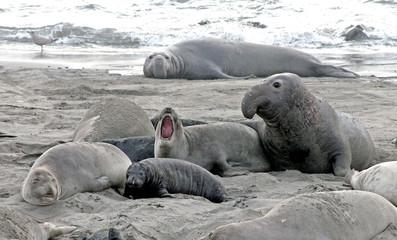 Elephant seals on the beach near San Simeon, Californa
