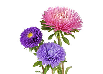 Aster flowers isolated on a white background