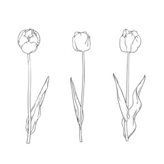 Three open tulips in line art style. Hand drawn sketch of flowers. Vector illustration isolated on white background.
