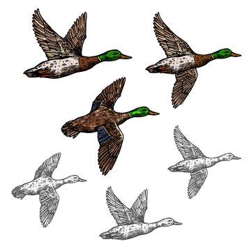 Mallard duck vector sketch wild bird icon
