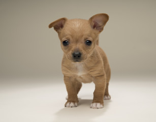 Brown chihuahua puppy on tan background