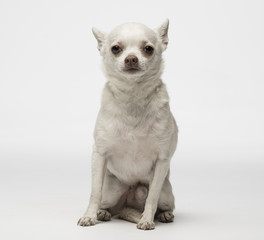 White chihuahua puppy on twhite background