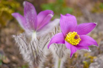 Blooming purple Pulsatilla grandis pasque flower.