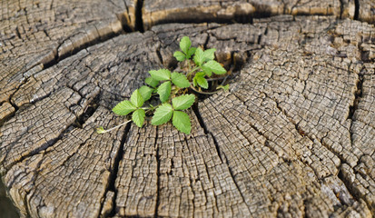 New young sprout growing from old wood tree stump. Renewal concept showing regeneration and rebirth. Recycled natural material.