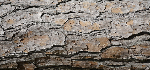 Pine tree bark with rough cracked dry surface. Neutral gray and brown textured background with cracks and lines.