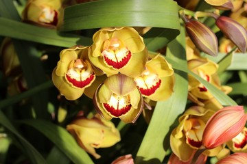 pretty yellow and red cymbidium orchids