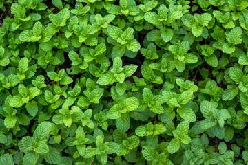 Peppermint in vegetable garden