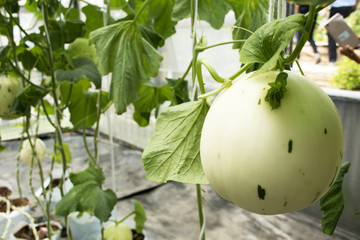 Muskmelon or Cucumis melo plant in garden of agricultural plantation farm at countryside