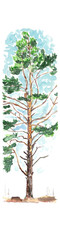 Spring Pine tree in early spring - watercolor sketch