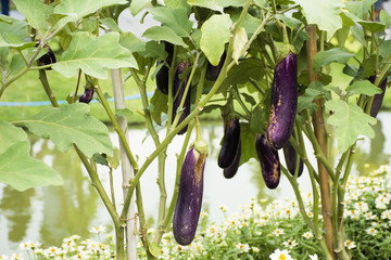 Purple long eggplant or Solanum melongena platn in garden of agricultural plantation farm at countryside