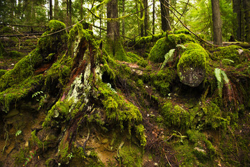 Mossy tree stumps in old growth rain forest  in Vancouver Island, BC