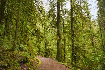 Trail with mossy tree trunks in old growth rain forest in Vancouver Island, BC