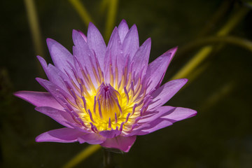 Lotus blossom blooming in pond