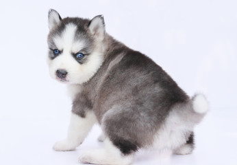 Siberian  husky puppy blue eye looking at camera