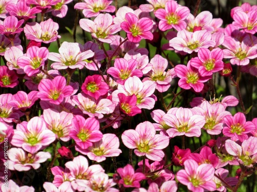 Background Little Pink Flowers Plant Saxifraga Purple Or
