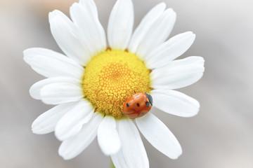 White daisy with red ladybug on petal, macro shot