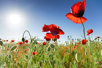 Red flowers poppies on the green field with shining sun