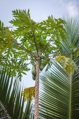 The papaya tree with fruits at Sri Lanka