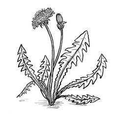 dandelion leafs and flowers hand draw illustration