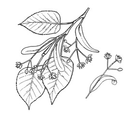 Tilia leafs and flowers hand draw illustration