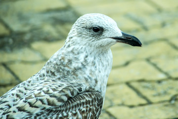 herring gull young bird in a pedestrian area in Poland