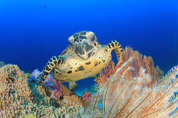 Hawksbill Sea Turtle and coral reef underwater