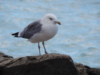 Caspian gull on background of the sea.