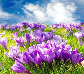 Wall Mural - Frühlingserwachen, Ostergruß, Blütenzauber, Alles Liebe, Blütenmeer, Glück, Freude: Wiese mit zarten Krokussen :)