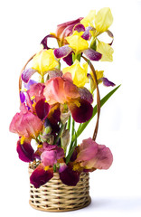 Mixed iris flowers in a vase