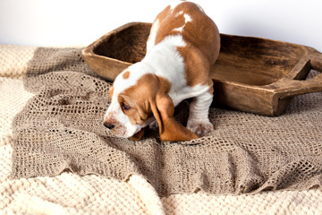 Basset hound puppy coming out of a wooden bowl