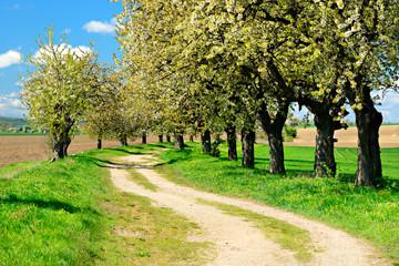 Wall Mural - Landschaft im Frühling, Kirschbäume am Feldweg in voller Blüte