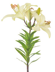 isolated white lily with three blooms and buds