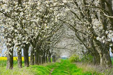 Wall Mural - Allee aus Kirschbäumen in voller Blüte