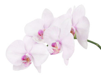 Tuinposter Orchidee isolated branch with four light pink orchid blooms