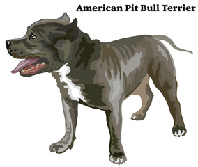 Colored decorative standing portrait of American Pit Bull Terrier vector illustration