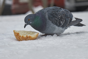 Pigeon eating a piece of bread on the snow