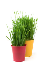 Young green Christmas wheat in a yellow and red pot on a white background. Two flowerpots with wheat