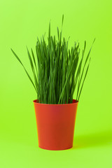 Young green Christmas wheat in a red pot on green background.