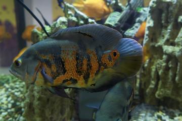 large motley aquarium fish
