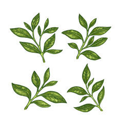 Green tea leaf collection. Engraved leaf set. Vector illustration