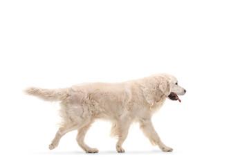 Labrador retriever dog walking