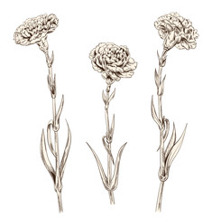 Set of carnation schabaud: brown (sepia) monochrome contour of flowers, stems, leaves on white background. Composition for Mother's Day, Victory day, digital draw in engraving vintage style, vector
