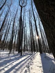sun through a snowy forest