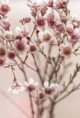 Makro Blüten der Wachsblume (Chamelaucium uncinatum)