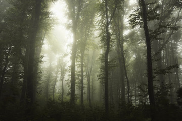 misty forest with green foliage and trees in fog after rain